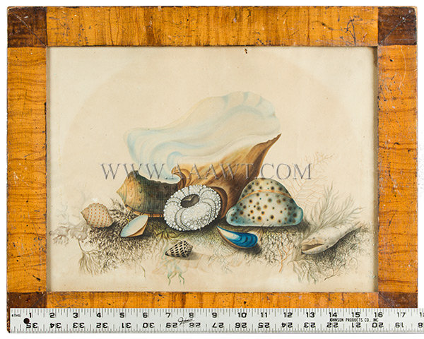 Antique Watercolor Study of Seashells, New York, Late 1840's, with ruler for scale